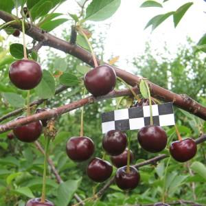 Сорт вишни Морозовка