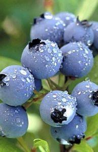 Голубика сорт Blueray
