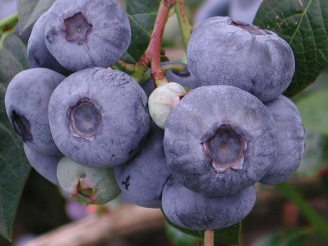 Голубика сорт Herbert