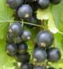 Смородина черная сорт Шалунья