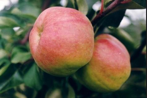 Яблоня сорт Жигулевское