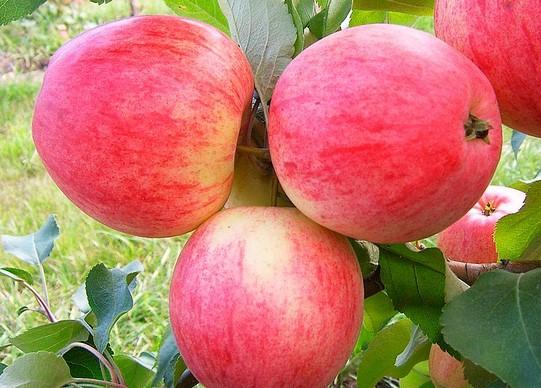 Яблоня сорт Мечта