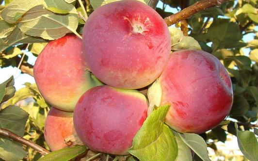Яблоня сорт Орлик