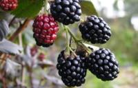 Ежевика сорт Lawton berry