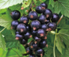 Смородина черная сорт Тамерлан