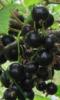 Смородина черная сорт Нюрсинка